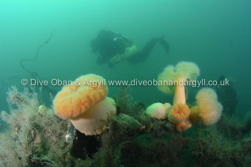 Plumose Anemones on the Sunderland Wreckage