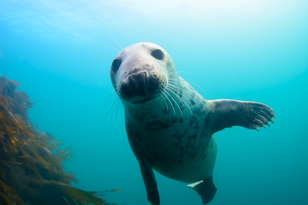 Seal, Grey, Tapti, Soa, Diving, Scuba, Wreck, Mull, Argyll, Scotland