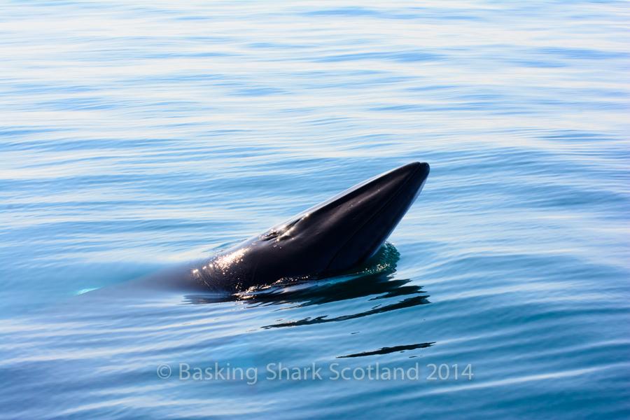 Minke, Whale,. Hebrides, Coll, Argyll, Scotland, Watch, Boat, Tour, Spyhop