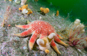 Crossaster, Starfish, Temperate, Reef, Coll, Mull, Argyll, Scotland, Scuba, Diving, Underwater, Photography